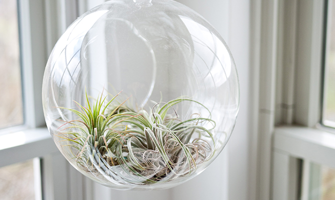 Airplant in glass globe