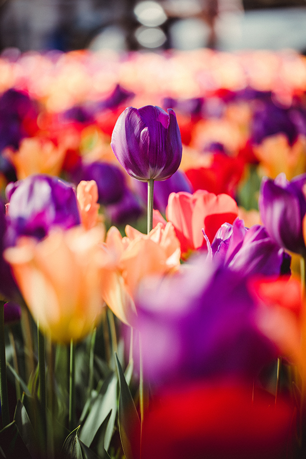 field of tulips with purple tulip