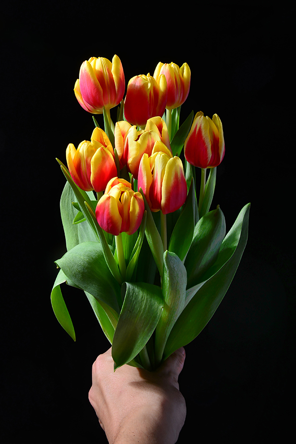 Hand Holding Yellow and Red Tulips