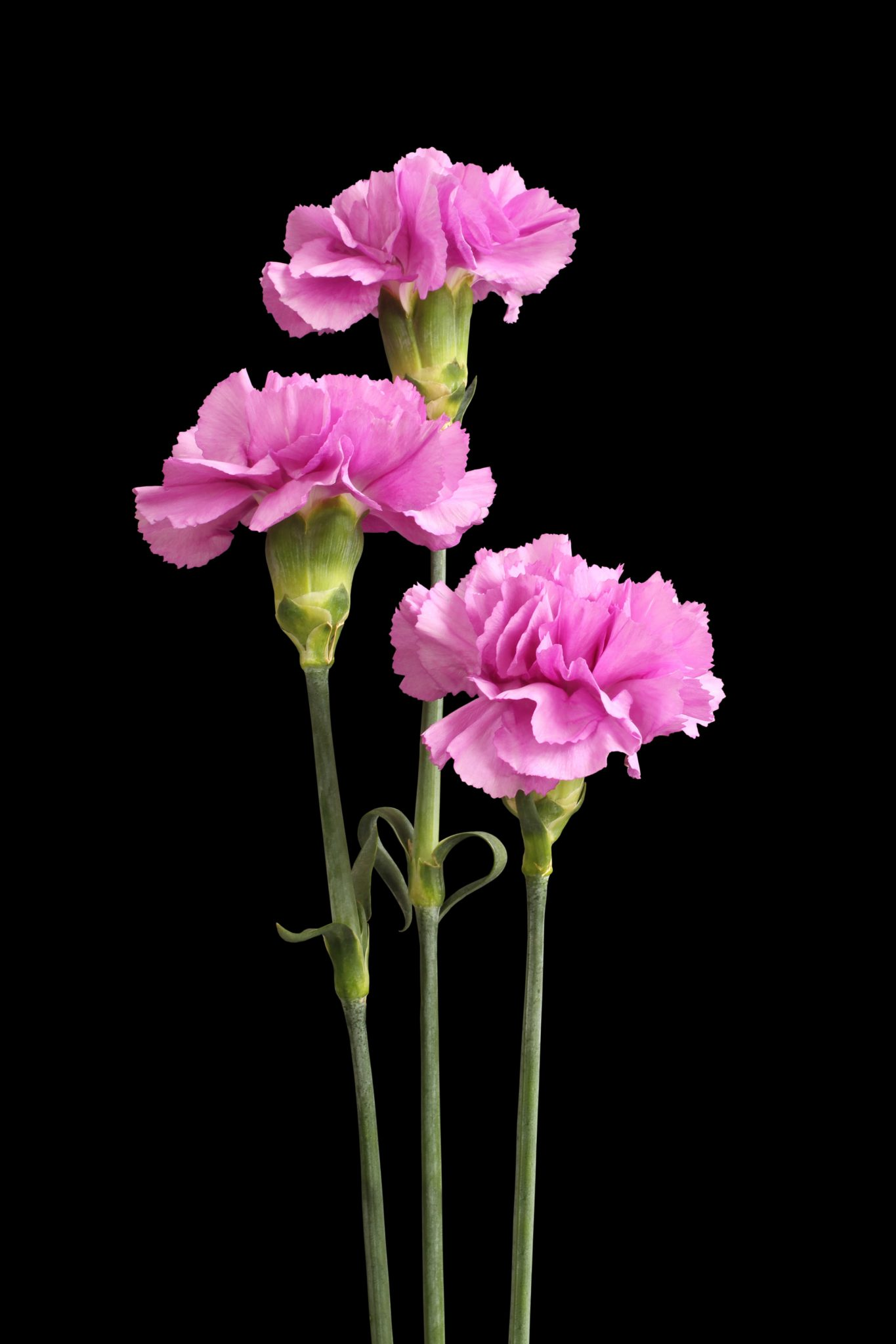 Carnations Flowers Featured Content Lovingly