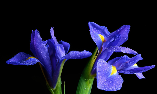Iris is February's birth month flower.